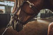Equestrian Facility. Brown Race Horse In A Stable. Head Closeup. poster