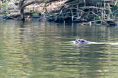 Swimming beaver in Dutch Biesbosch water