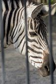 Portrait Of A Sad Zebra. The Animal Behind Bars. Zoo. An Animal In Captivity. poster
