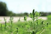 Blooming Ragweed Plant (ambrosia Genus) Outdoors, Space For Text. Seasonal Allergy poster