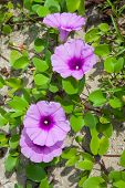 Morning Glory On The Beach In The Morning. poster