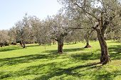 Olive Grove. Concept Of Olives, Tradition. Olive Growing. View Of An Olive Grove Before Harvesting O poster