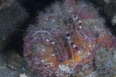 Boxer Shrimp Climbing on Reef Stonefish