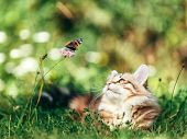 Cat hunting butterfly in grass. Siberian kitten. Purebred, red color type poster