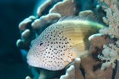 Close-up of Freckled Hawkfish on Coral