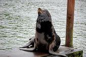 California Sea Lion at the Dock