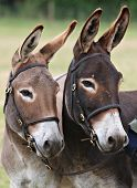 picture of jack-ass  - A close up of two donkeys in bridles looking alert - JPG