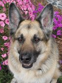 stock photo of shepherd dog  - Closeup of a black and tan German Shepherd Dog - JPG