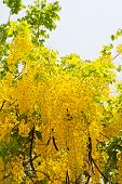 stock photo of vishu  - Golden shower flower - JPG