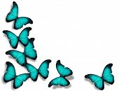 Turquoise Flag Butterflies, Isolated On White Background