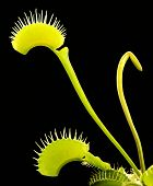 foto of flytrap  - illuminated venus flytrap detail in black back