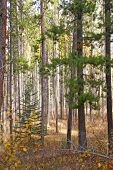 Autumn, Lodgepole Pines, And Aspens