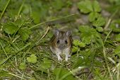 pic of field mouse  - Wood Mouse or Long Tailed Field Mouse  - JPG