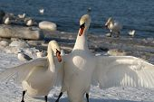 Pair Swans