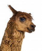 Close-up of Alpaca against white background