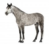 Andalusian, 7 years old, also known as the Pure Spanish Horse or PRE against white background poster