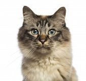 Close-up of a Birman looking at camera against white background