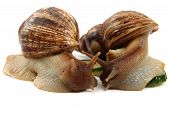 picture of garden snail  - snails family isolated on the white background - JPG