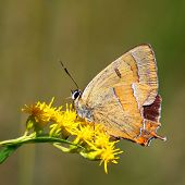 Butterfly - Thecla Betulae