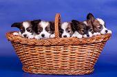 Five Papillon Puppies