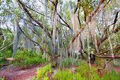 Spanish Moss Everglades National Park