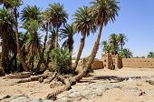 pic of oasis  - Morocco Draa valley - JPG