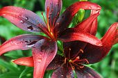 stock photo of asiatic lily  - Tropical garden closeup of red and black Asiatic Lilium - JPG