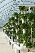 picture of hydroponics  - Hydroponically grown Strawberry vines growing in a hothouse