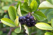 stock photo of aronia  - Black Chokeberries  - JPG