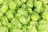 Fresh green hops, close up