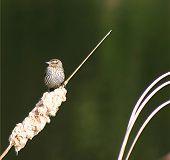 Ovenbird 3