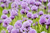 stock photo of chive  - Flowering purple chive blossoms Allium schoenoprasum a fresh herb - JPG