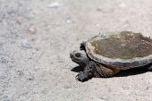 Snapping Turtle Chelydra Serpentina Re4524