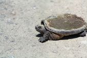 Snapping Turtle Chelydra Serpentina Re4525