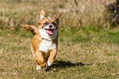 foto of lifting-off  - A Little puppy running  wild through the grass and thereby lifts almost off and has his mouth open - JPG