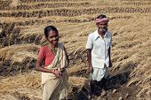 BAIDYAPUR, INDIA - DEC 02: An unidentified farmer havesting rice on rice field on Dec 02, 2012 in Ba