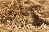 Female Red-billed Firefinch Searching For Seeds