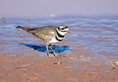 picture of killdeer  - Killdeer standing and feeding in Mud at water - JPG