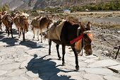 Donkeys In Nepal