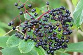 Elderberry (Sambucus Berries) tree with fruit in the garden