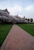 Brick Road To Blooming  Cherry Trees