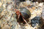 Hermit Crab, Pagurian