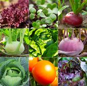 pic of kohlrabi  - set of vegetable garden  - JPG