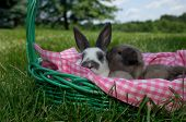 image of mini lop  - Holland Lop baby bunny kissing Mini Reex baby bunny in a basket outside sunny summer day - JPG