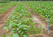 Chinese Cabbage Plantation