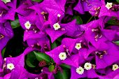 Bougainvillea Purple Flowers