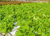 pic of hydroponics  - Butterhead Lettuce Vegetables Plantation In Hydroponic System - JPG