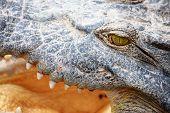 Crocodile Gape