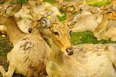 Brow-antlered Deer