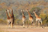 Small herd of giraffes (Giraffa camelopardalis) in the African savanna